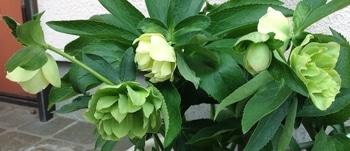 クリスマスローズ「ダブル・ライムグリーン・スポット・リバーシブル」 3/22 蕾の開花あり