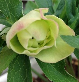 クリスマスローズ「ダブル・ライムグリーン・スポット・リバーシブル」 2/24 2分咲きかな
