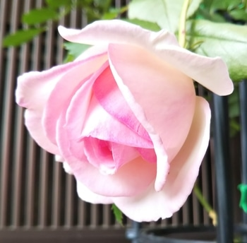 ピエール・ドゥ・ロンサール  つるバラ初挑戦 一番花が咲きました🌹