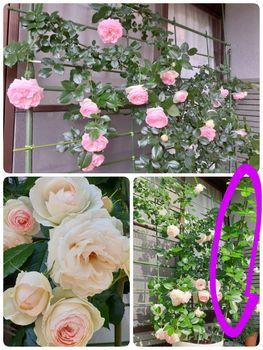 ピエール・ドゥ・ロンサール  つるバラ初挑戦 今年もその美しさに会えて良かった💕
