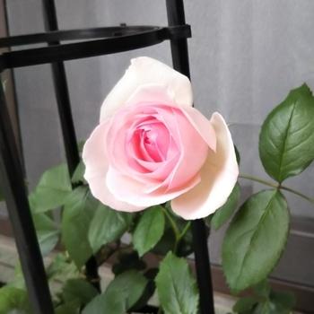 ピエール・ドゥ・ロンサール  つるバラ初挑戦 美しい‼️