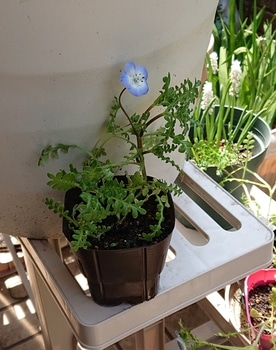 2月に発芽したこぼれ種ネモフィラ 開花しました🌺