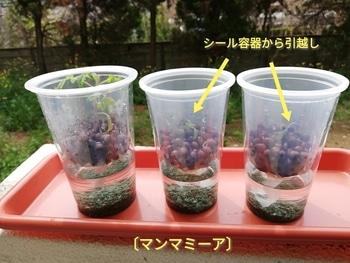 マンマミーア🍅種から水耕栽培 シール容器からプラコップ容器へ