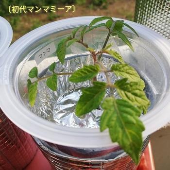 マンマミーア🍅種から水耕栽培 初代マンマミーア