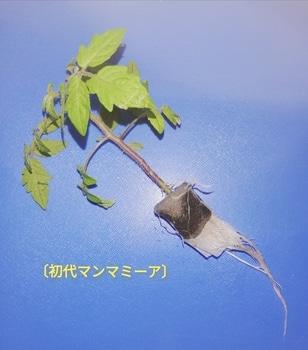 マンマミーア🍅種から水耕栽培 初代マンマミーア🍅の定植~その1