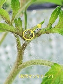 マンマミーア🍅種から水耕栽培 初代マンマミーア🍅~脇芽の蕾を確認