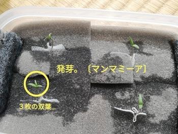 マンマミーア🍅種から水耕栽培 発根~発芽(その2)