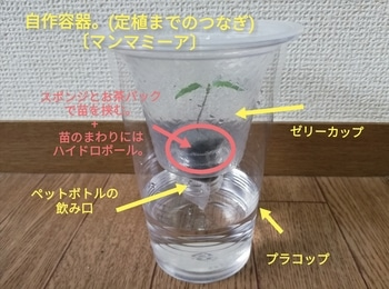 マンマミーア🍅種から水耕栽培 自作プラコップへ(その2)