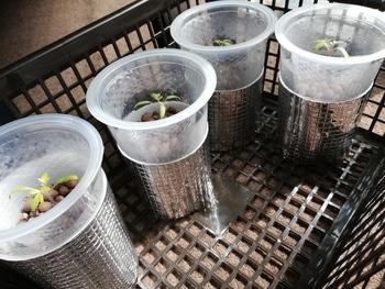 マンマミーア🍅種から水耕栽培 養液始める
