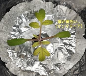 マンマミーア🍅種から水耕栽培 マンマミーアの不調