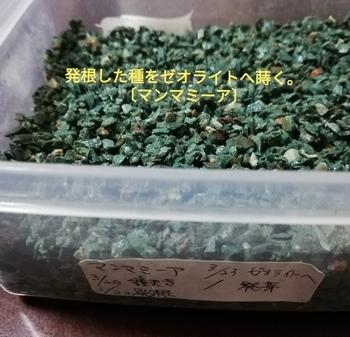 マンマミーア🍅種から水耕栽培 〔リトライ〕種蒔き~ゼオライトへ