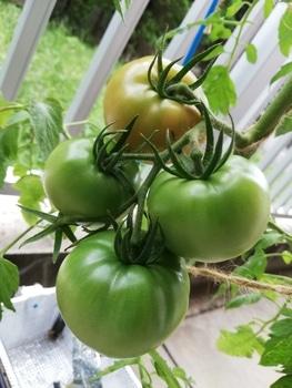 トマト1号🍅種から水耕栽培 色づき始める