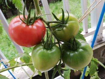 トマト1号🍅種から水耕栽培 初収穫しました