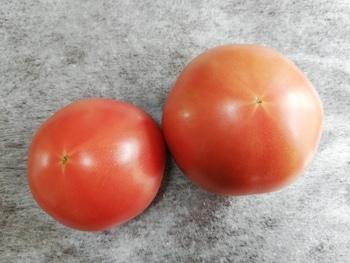 トマト1号🍅種から水耕栽培 収穫
