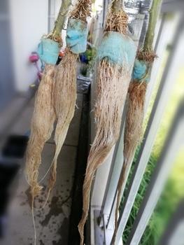 トマト1号🍅種から水耕栽培 撤収&収穫記録📝