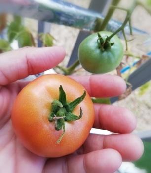 トマト1号🍅種から水耕栽培 No.4🍅収穫