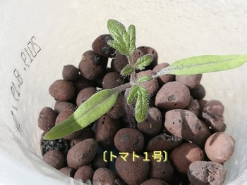 トマト1号🍅種から水耕栽培 シール容器~ゼオライト~プラコップ