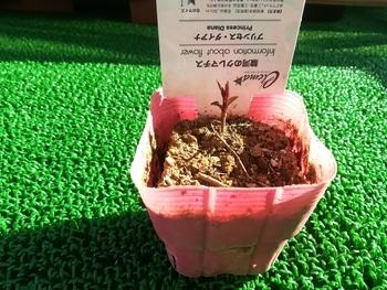 初めてのクレマチス~ゆるゆる園芸者が育てるプリンセス・ダイアナ~ ついに購入しました
