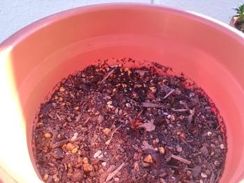 初めてのクレマチス~ゆるゆる園芸者が育てるプリンセス・ダイアナ~ 鉢植えにしました