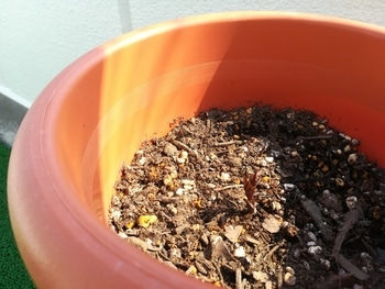 初めてのクレマチス~ゆるゆる園芸者が育てるプリンセス・ダイアナ~ 芽が開いてきました