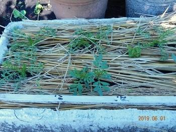 マカの栽培 ポットから植え換え(発芽から3ヶ月)