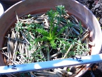 マカの栽培 鉢植えに1株植えたもの