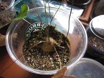 亀甲竜 実生 だいぶ大きく成長・・
