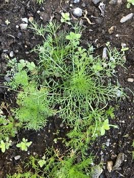 ジャーマンカモミール、3月11日播種15日発芽(古いタネです) 秋蒔きのジャーマンカモミール