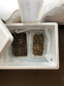去年の種で芽を出せ花咲けピーマン 箱まき 4粒まく(残3粒)