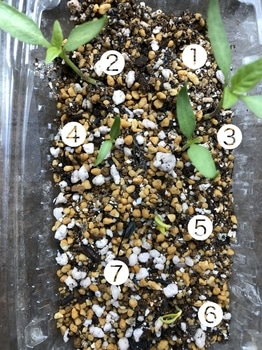 去年の種で芽を出せ花咲けピーマン 7つ発芽 発芽率MAX100%