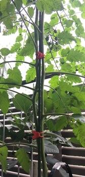 ミニトマト プレミアムルビー 支柱に沿わせた2本