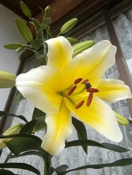 コンカドール 1号花開花
