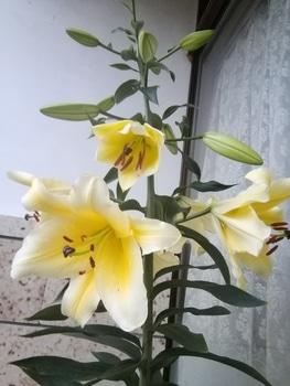 コンカドール 6号花開花