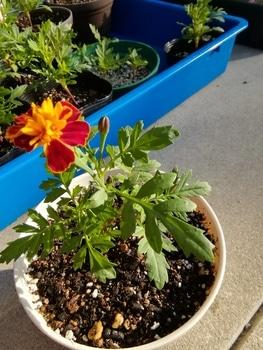 【種まき】マリーゴールド 混合だから何色の花が咲くかワクワク