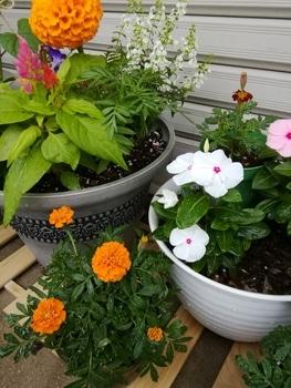 【種まき】マリーゴールド 楽しみにしてたピンク札の花の色