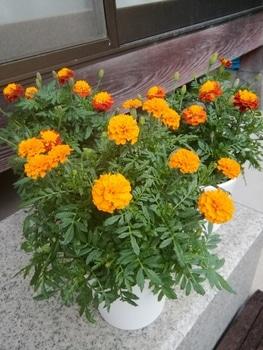 【種まき】マリーゴールド エリート鉢