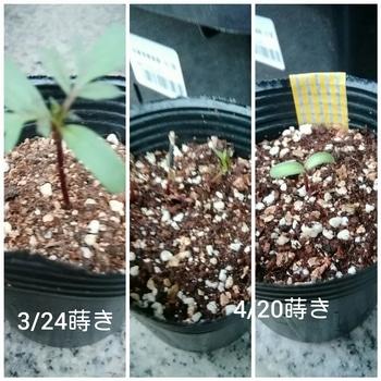 【種まき】マリーゴールド 3月分と4月分で育レポ分けます