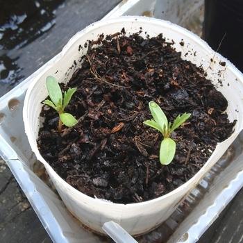 チャレンジ❤種からアフリカンマリーゴールド バニラ 4/18 土を足しました。
