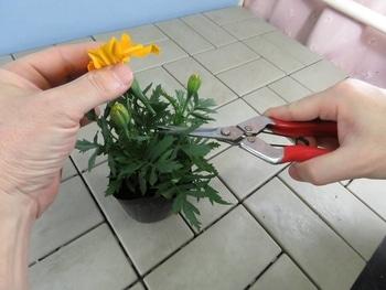 マリーゴールドを丈夫で元気に咲かせるチャレンジ! 摘花及び摘蕾作業