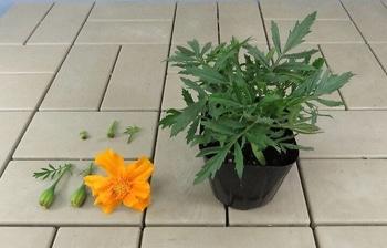 マリーゴールドを丈夫で元気に咲かせるチャレンジ! 摘花及び摘蕾後の状態