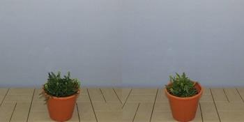 マリーゴールドを丈夫で元気に咲かせるチャレンジ! 定植より24日経過 追肥開始