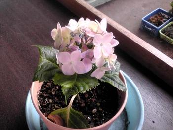アジサイ挿し木(新芽挿し) 挿し穂の花が咲きました。