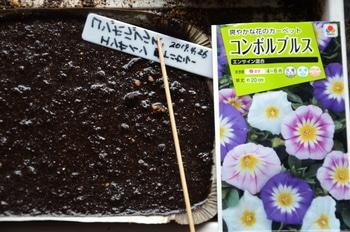 三色昼顔  夏の日盛りを彩る 種蒔き