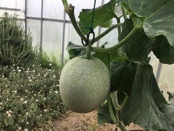 種から育てる 玉を大きく伸ばす