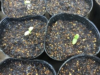 種から育てる 芽🌱が出ました