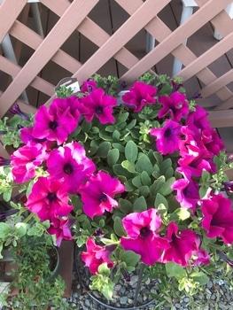 サフィニア パープルをたーくさん咲かせたい❣️その2 溢れてきました!