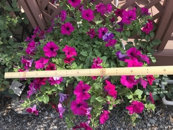 サフィニア パープルをたーくさん咲かせたい❣️その2 70センチになりました!