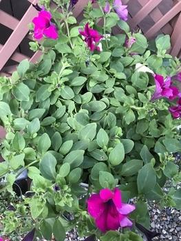 サフィニア パープルをたーくさん咲かせたい❣️その2 雨後の花殻摘み