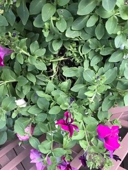 サフィニア パープルをたーくさん咲かせたい❣️その2 真ん中の葉っぱを取る