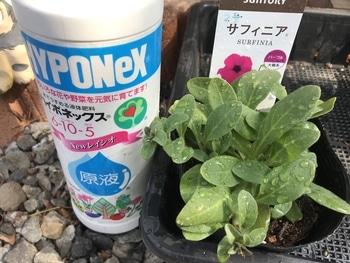 サフィニア パープルをたーくさん咲かせたい❣️その2 液肥やりまーす。
